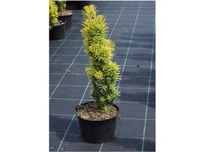 Taxus baccata David - tis
