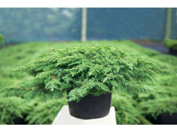 Juniperus communis Green Carpet - Jalovec půdopokryvný