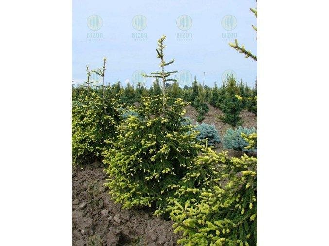 Picea orientalis Aureospicata - Smrk, žlutý list