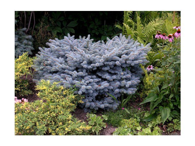 Picea pungens Glauca Globosa - Smrk, stříbrný, kulovitý
