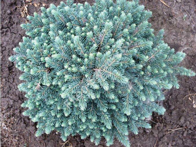 Picea pungens Waldbrun - Smrk stříbrný