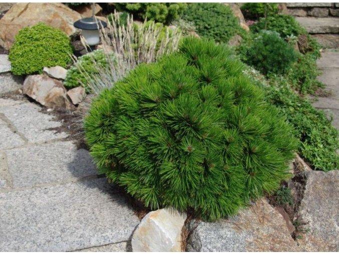 Pinus leucodermis Schmidtii - Borovice