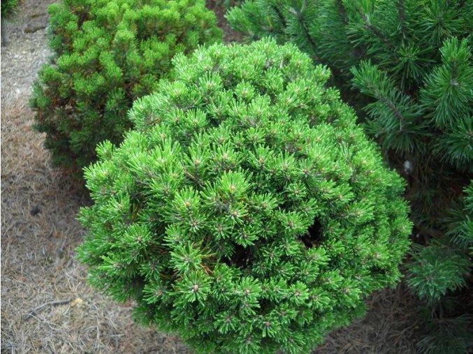 Pinus mugo Mini Mops - Borovice zakrslá