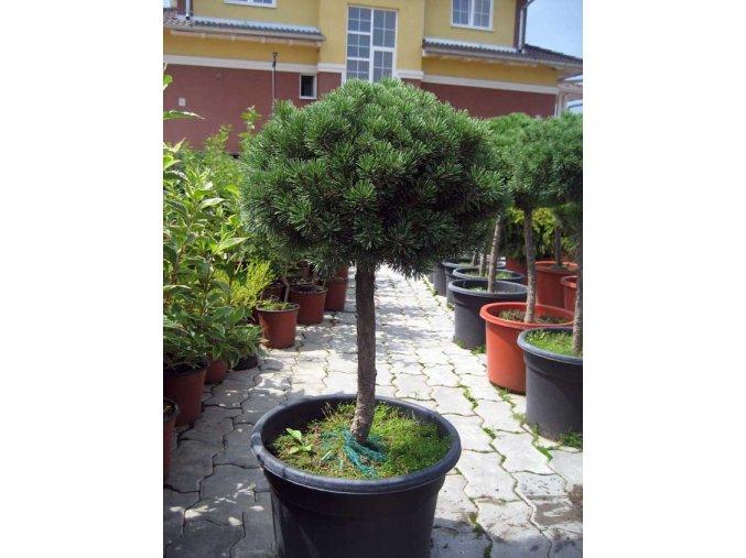 Pinus mugo Mops - Borovice zakrslá,kmínek