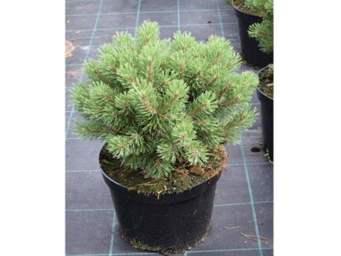 Pinus mugo Mops - Borovice zakrslá