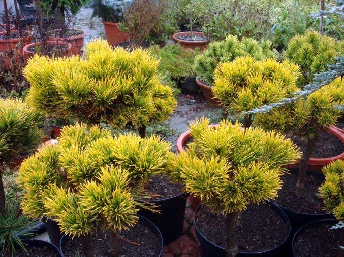 Pinus mugo Wintergold -  Borovice zakrslá, žlutý list, kmínek