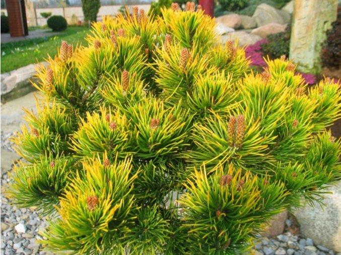 Pinus mugo Wintergold - Borovice zakrslá, žlutý list