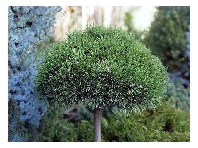 Pinus nigra Bambino - Borovice zakrslá