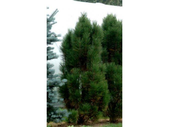 Pinus nigra Fastigiata - Borovice vzpřímená
