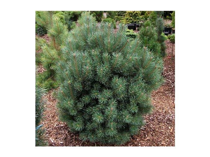 Pinus sylvestris Compresa - Borovice lesní