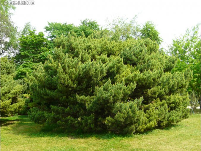 Pinus sylvestris Watereri - Borovice