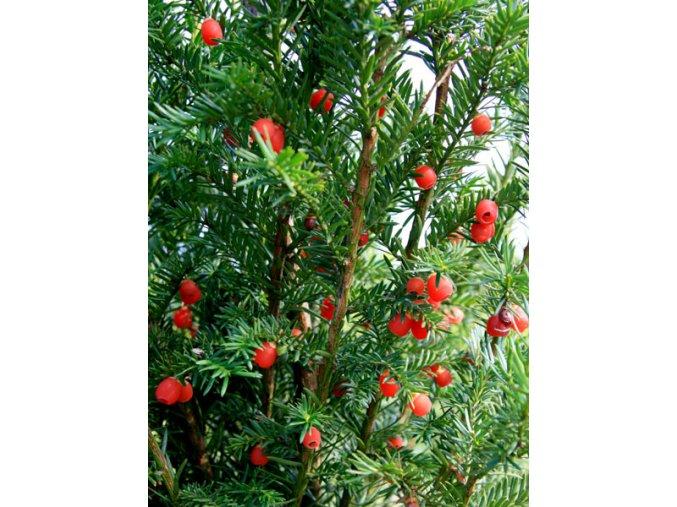 Taxus baccata - Tis