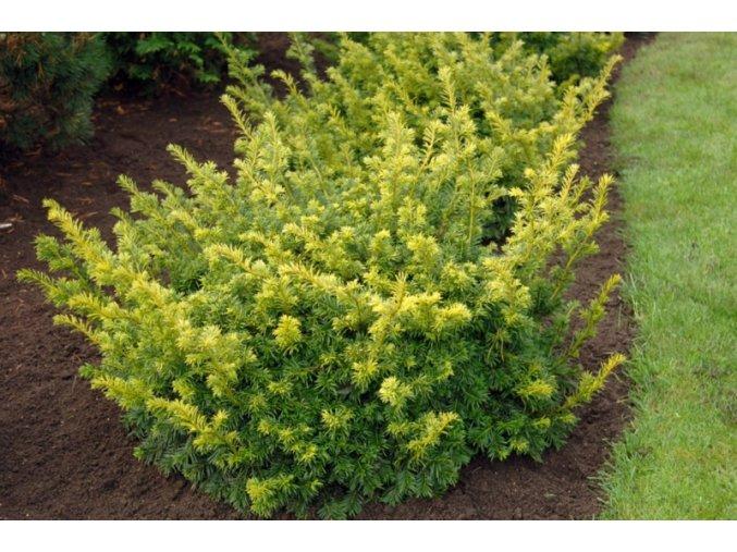 Taxus baccata Golden Carol - Tis, žlutý list