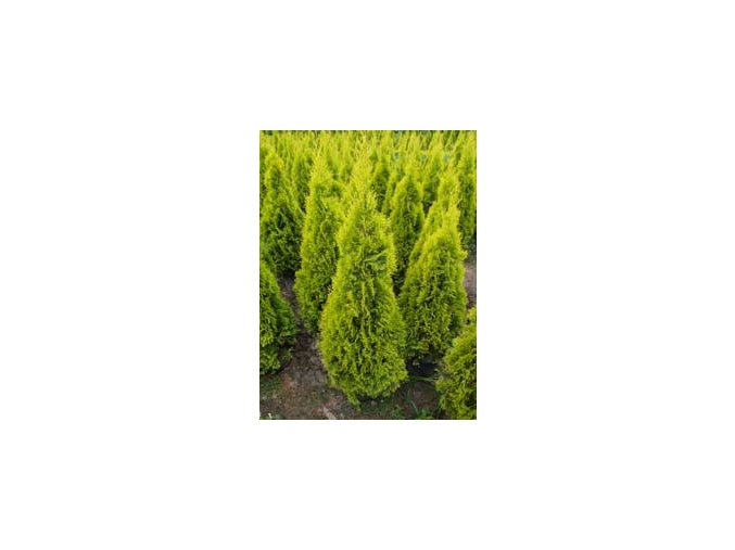 Thuja occidentalis Golden Smaragd - Zerav, žlutý list