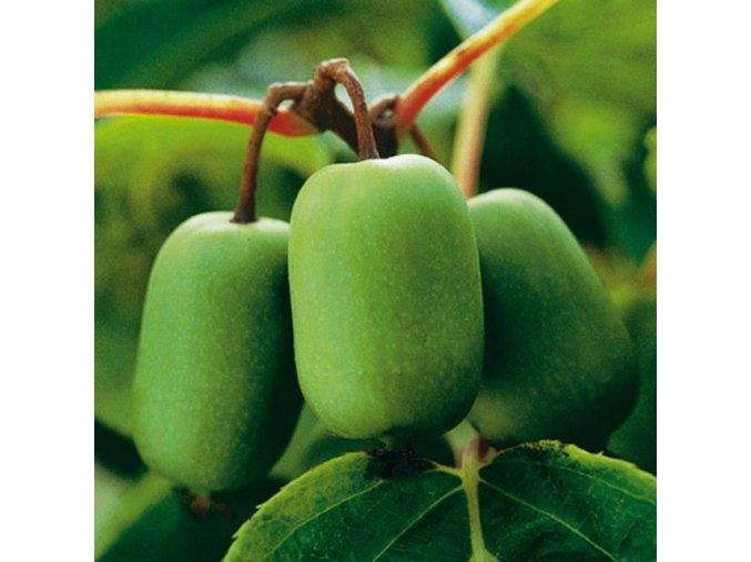 Actinidia arguta ´Issai´ -  Kiwi