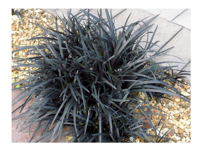 Ophiopogon - Černá tráva