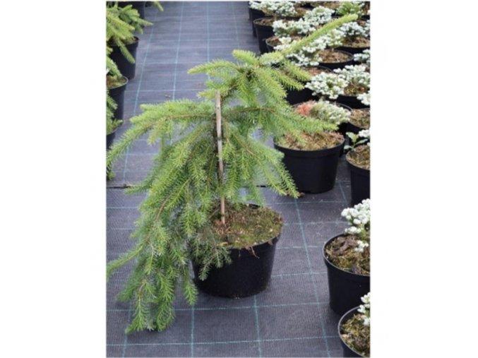 Picea omorika Pendula - Smrk převislý