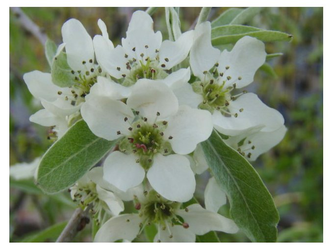 Pyrus salicifolia Pendula - Okrasná hrušeň vrbolistá