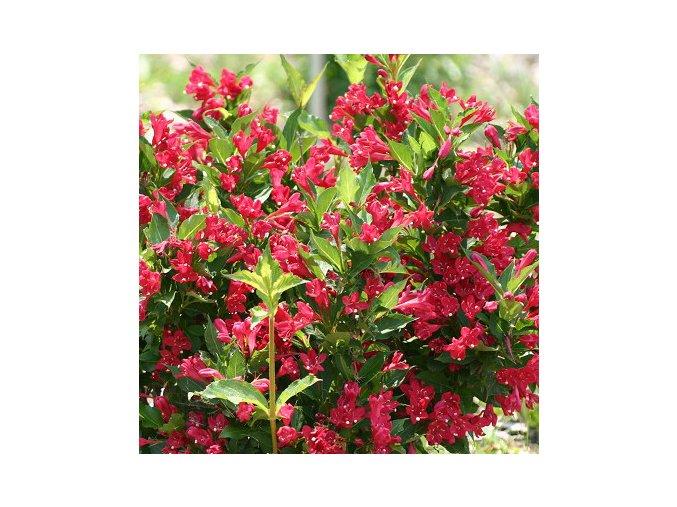 Weigela Red Prince  - vajgélie