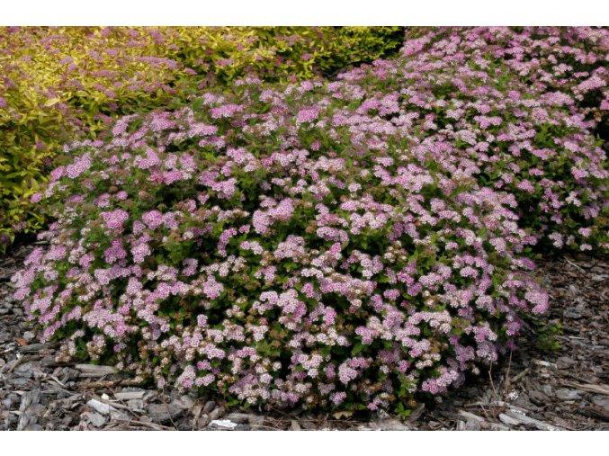Spiraea japonica Little Princess - Tavolník, zakrslý