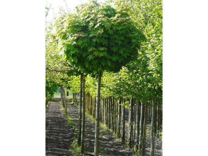 Acer platanoides Globosum - Javor kulovitá koruna