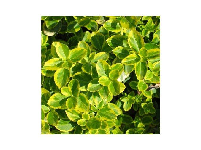 Euonymus fortunei Canadale Gold - žlutolistý brslen na kmínku