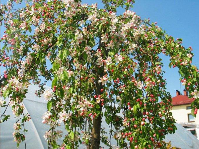 Malus Red Jade - okrasná jabloň