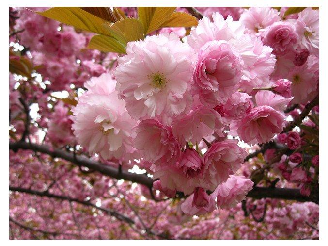 Prunus serrulata Kanzan - okrasná třešeň - Sakura