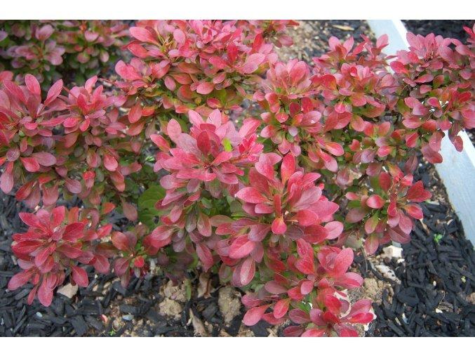 Berberis thunbergii Bagatelle - červenolistý zakrslý dřišťál