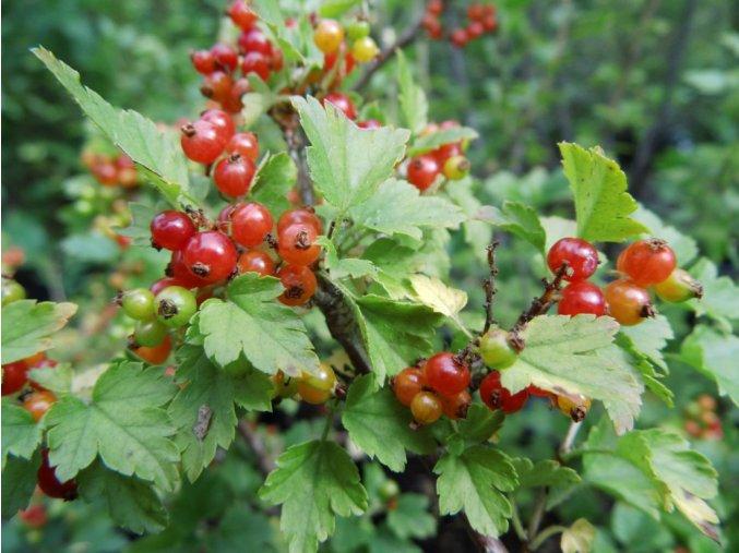 Ribes alpinum - meruzalka