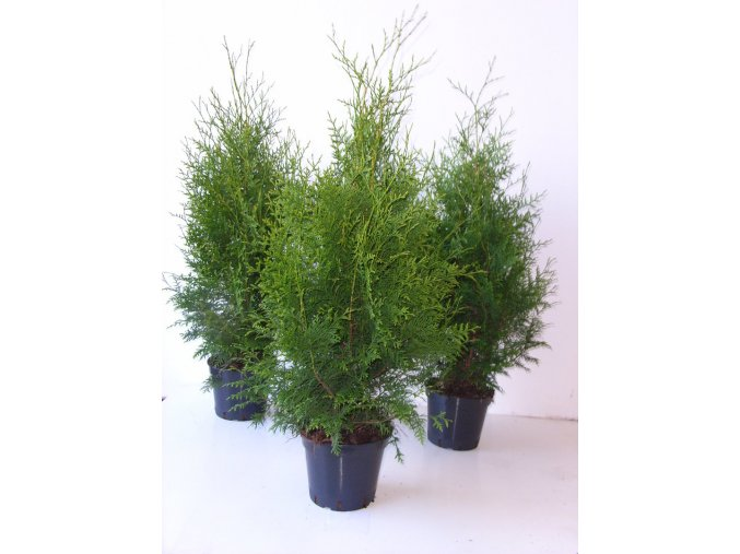 Thuja occidentalis Brabant - tuje na živý plot