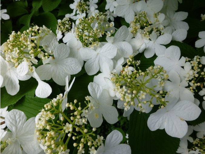 Viburnum plicatum Mariesii - kalina