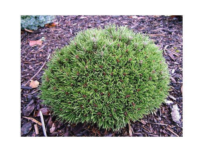 Pinus rotundata Ježek - zakrslá borovice