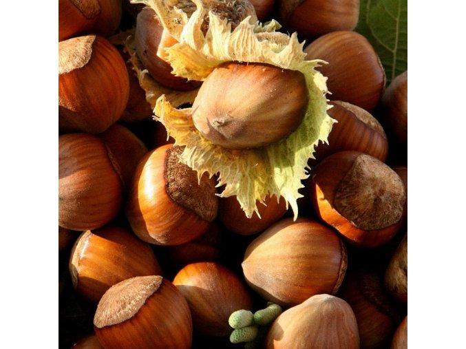 Corylus Geant de Halle - Lískové oříšky