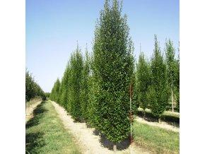 Carpinus betulus Fastigiata - Habr vzpřímený