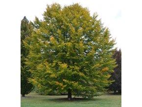 Fagus sylvatica - Buk lesní