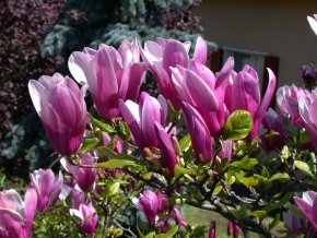 Magnolia Susan - Magnolie