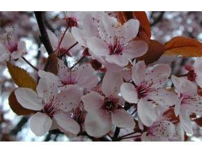 Prunus cerasifera Nigra - Třešeň červenolistá