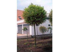 Prunus fruticosa Globosa - Třešeň - kulovitá