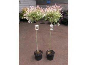 Salix integra Hakuro Nishiki - Vrba, žíhaný list, kmínek