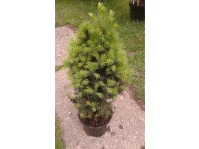 Picea glauca Conica - kónický smrk