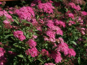 Spiraea japonica Anthony Waterer - Tavolník