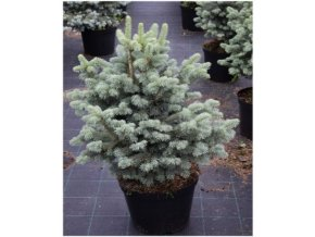 Abies lasiocarpa Compacta - Jedle, stříbrný list