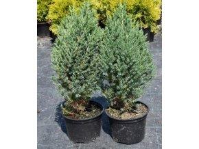 Juniperus chinensis Stricta - Jalovec vzpřímený