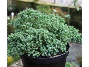 Juniperus procumbens Nana - Jalovec zakrslý