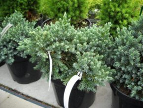 Juniperus squamata Blue Star - Jalovec, modrý list
