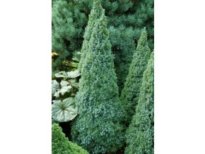 Picea glauca Blue wonder - Smrk kónický modrolistý