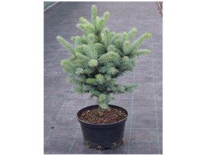 Picea pungens Iseli Fastigiata Smrk stříbrný, vzpřímený