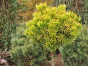 Pinus mugo Ophir - Borovice zakrslá, žlutý list, kmínek