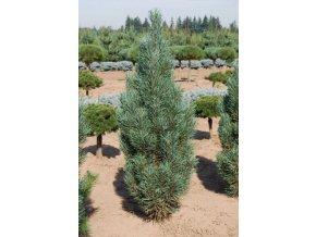 Pinus sylvestris Fastigiata - Borovice lesní vzpřímená